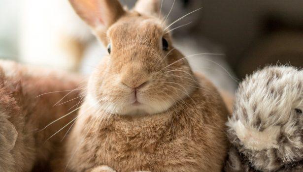 Pasożyty żołądkowo-jelitowe u królików i kawii domowych