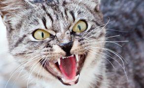 Psychologia zwierząt – agresja u kotów nakierowana na człowieka – opis przypadku