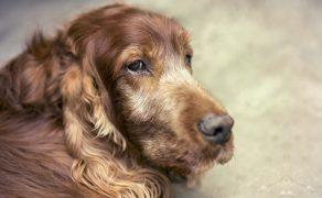 Pacjent geriatryczny – badania profilaktyczne u starszych psów i kotów
