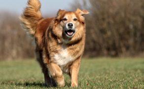VET_PERSONEL_3_17_Spowolnić demencję starczą u psów