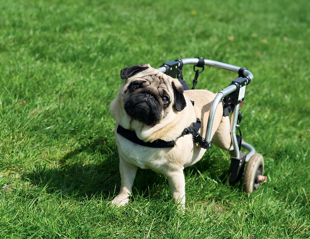 niepełnosprawny pacjent weterynaryjny