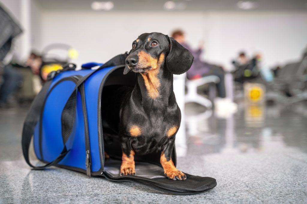 Brexit: Podróżowanie zwierząt do UE od 1 stycznia 2021 r.